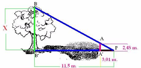 Calcula la altura del árbol aplicando el Teorema de Tales.
