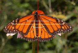 Simetría Carolina