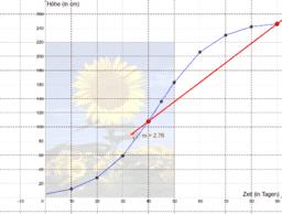 Wachstum einer Sonnenblume